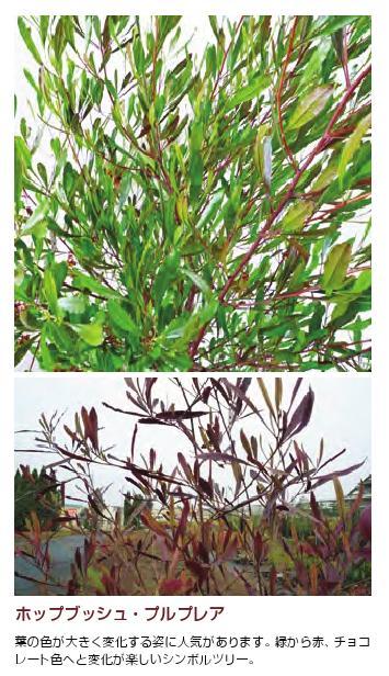ドドナエア 常緑樹  1