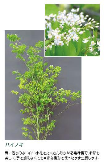 ハイノキ 常緑樹 中高木1