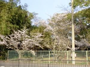 桜 満開 舩津八幡神社