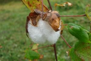 もこもこ、綿の実