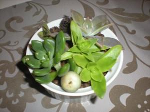 庭の多肉植物の寄せ植え