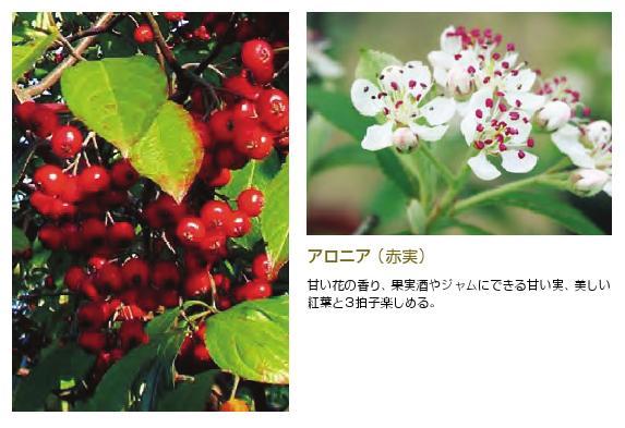 アロニア(チョコレートベリー) 落葉樹1