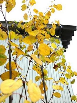 植栽 カツラ・笹 和歌山市5